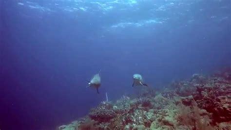 scuba diving  dolphins curacao youtube