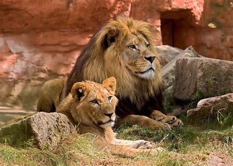 photo lion wildlife predator zoo  image