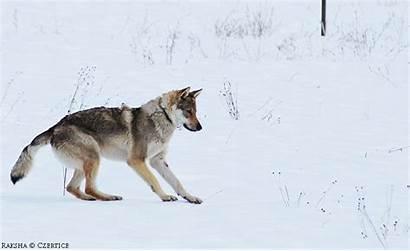 Mouse Jump Animation Deviantart Czertice Wolf Dog