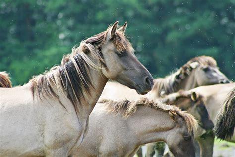 horses horse wild herd brumby mare foal animal stallion animals colt mustang mane wildlife pack mammal fauna pxhere domain