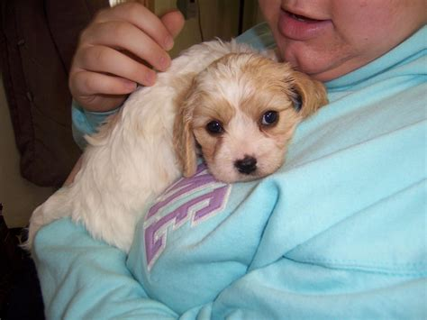 cavachon puppies dog breed information pictures