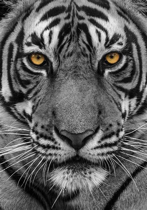 Best Images About Lions Tigers Big Cats Pinterest