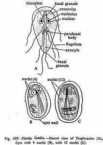 Structure Of Giardia Lamblia  With Diagram