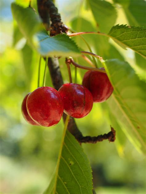 leaf tree with cherry like fruit top 28 leaf tree with cherry like fruit ufei selectree a tree selection guide free images