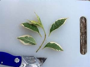 Magnolien Vermehren Durch Stecklinge : kostenlos und einfach pflanzen aus stecklingen ziehen ~ Lizthompson.info Haus und Dekorationen