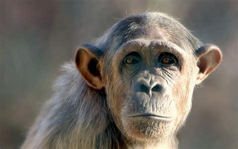 hd monkey wallpapers pixelstalknet