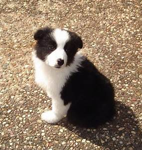 Cute Puppy Dogs: Red border collie puppies