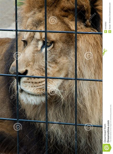 gabbia leone lion sad caged triste messo gekooide leeuw droevige cage zoo animal fuori fotografia king barre male