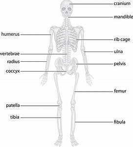 The Skeletal System  Bone Functions