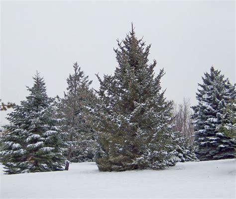 evergreens  snow  stock photo public domain pictures