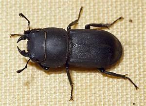 Schwarze Käfer Im Garten : kleines artenportrait mit text und fotos von dorcus ~ Lizthompson.info Haus und Dekorationen