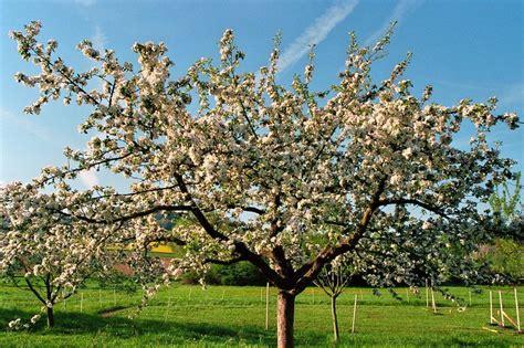 alten apfelbaum schneiden apfelbaum selber ziehen apfelbaum ziehen das sollten sie beachten apfelbaum selber ziehen so