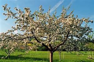 Wann Apfelbaum Pflanzen : alten apfelbaum schneiden alten apfelbaum schneiden ~ Lizthompson.info Haus und Dekorationen