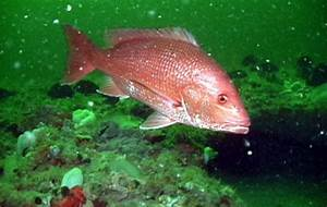 Northern Red Snapper