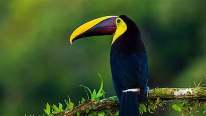 Bird Exotic Toucan 4k Wallpapers Birds Uhd