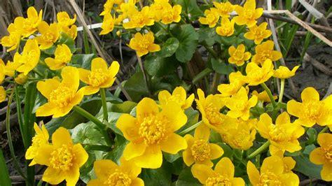 with yellow flowers top 15 beautiful yellow flowers in the world yabibo