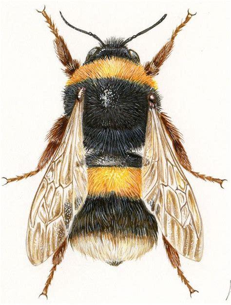 jean louis verdier illustrations naturalistes et scientifiques bourdon