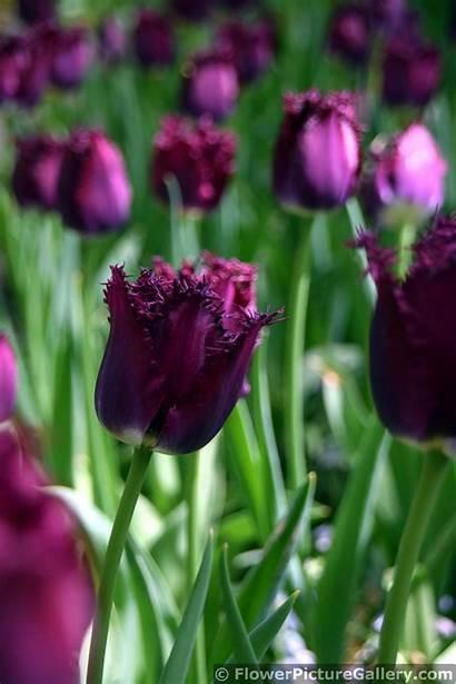 Tulips Purple Keukenhof Flower Edges Photograph Thorn