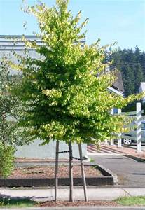 tree profile for the american hornbeam forest nursery inc
