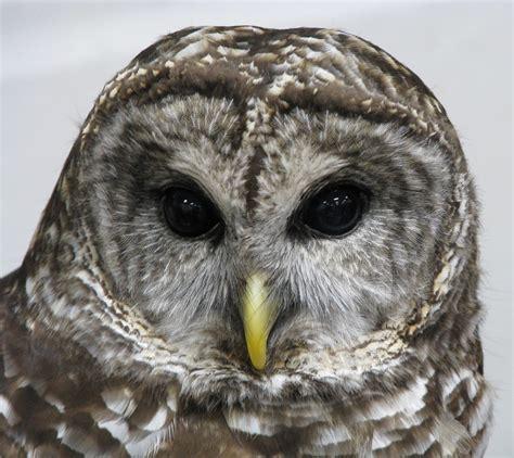 file barred owl jpg wikipedia