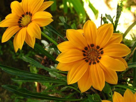 fleur de bureau télécharger fonds d 39 écran fleur jaune