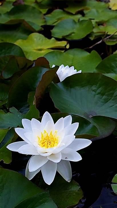 Lotus Flower Flowers Iphone Wallpapers Water Lily