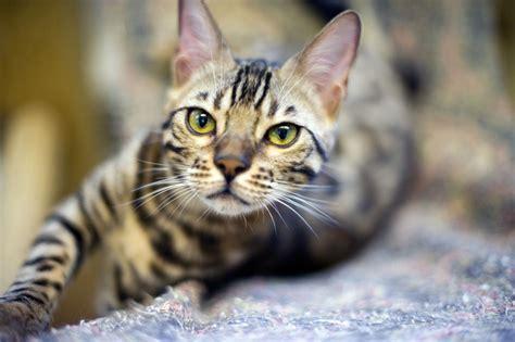 bengal  savannah cats bring touch   wild  homes  star