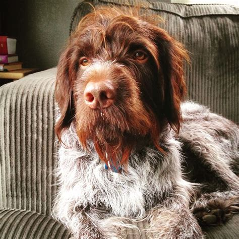2437 best images about korthals griffon on idaho pet portraits and pheasant