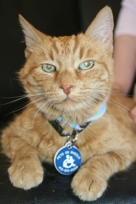 therapy cats 16 best ideas about therapy and service pets on pinterest smileys studios and coins