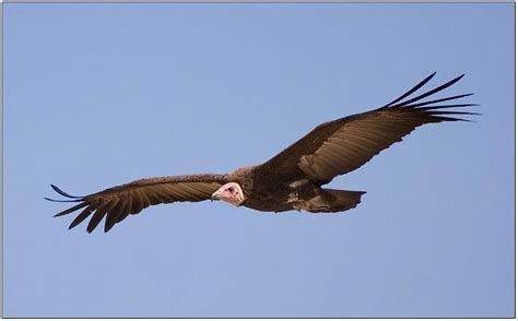 Peter Basterfield ARPS DPAGB/Hooded Vulture.The Gambia