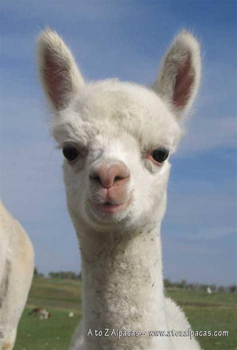 Pin Margo Mills Wayman Fallis Llamas Alpaca Vicuna
