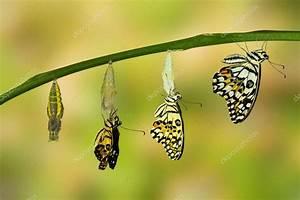 Transformation Of Lime Butterfly  U2014 Stock Photo  U00a9 Mathisa