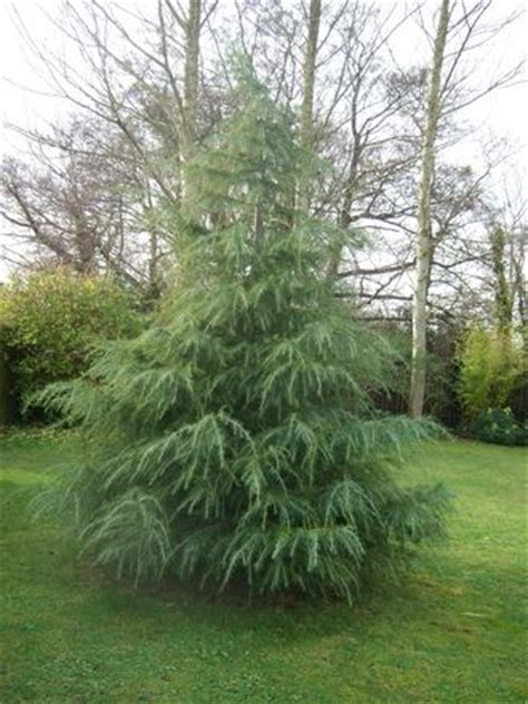 small evergreen trees winter interest in the garden part 1 evergreens grows on you