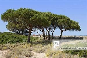 Unterschied Pinie Kiefer : baum f hren hintergrund italien kiefer kiefern pflanze pinie pinus sylvestris sand sardinien ~ Orissabook.com Haus und Dekorationen