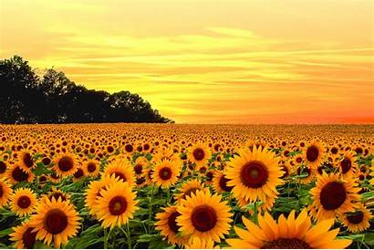 Aesthetic Yellow Computer Sunflower Wallpapers Backgrounds Wallpaperaccess