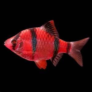 Starfire Red Glofish Barb