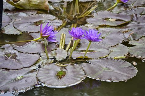 how water lilies grow how to grow water lilies or aquatic plants nymphaeaceae flower and garden