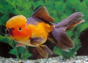 This is an Orange and Black Oranda Goldfish. | Goldfish ...