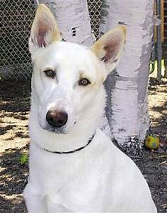Canaan Dog Dog Breed Information, Puppies & Pictures
