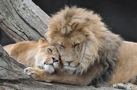 wildlife  peril  rapid decline   african lion