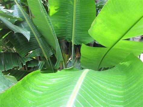 strelitzia reginae in vaso come coltivare la strelitzia reginae una pianta dal fiore