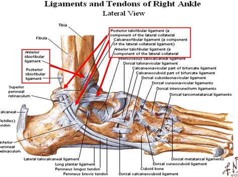 Tendons-in-foot-diagram-17-best-ideas-about-ankle