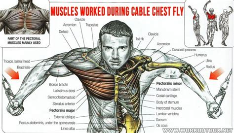 Pec Deck Fly Muscles Worked by Muscles Worked During Cable Chest Fly Healthy Fitness