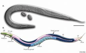 Anatomy Of An Adult Hermaphrodite C  Elegans   A