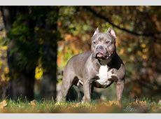 Gator Bloodline Pitbull | squash-onderhoud info