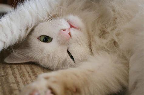 kaķi osta baldriāni - Spoki