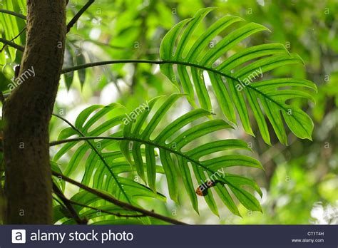 Philodendron Arten Bilder by Philodendron Stockfotos Philodendron Bilder Alamy
