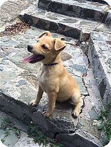 Sudbury, MA - Italian Greyhound/Labrador Retriever Mix ...