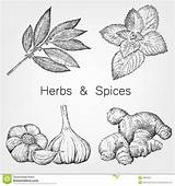 Spices Herbs Drawing Sketches Hand Illustration sketch template