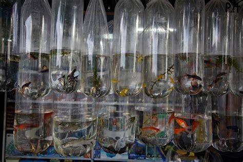 photographies de poilloux moluques sulawesi 2010 makassar 0315 poissons d eau douce pour